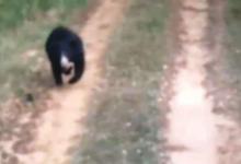 Photo of Urso ataca equipe que o libertou e fere gravemente 2 pessoas. Veja!